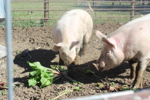 Pigs love to eat freshly picked mangel beets