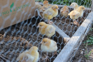 Medium Growth Broiler Chicks