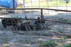 Duroc and Hampshire crossed with Berkshire boar